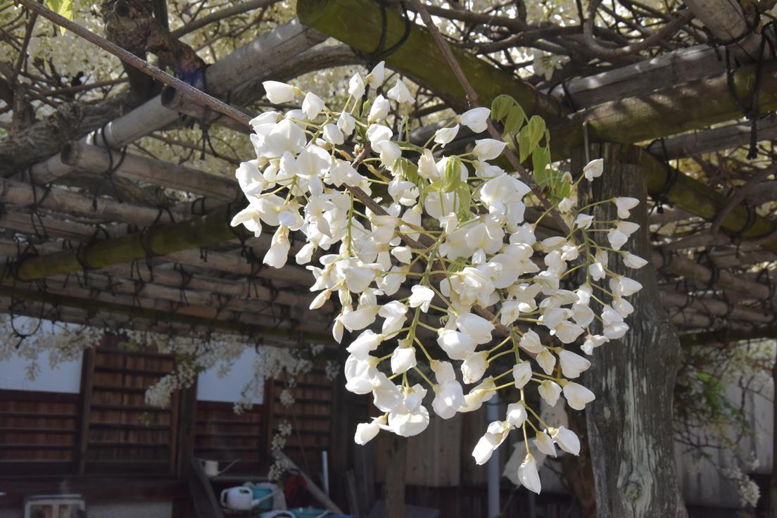 白い藤きれいでした♪:画像4