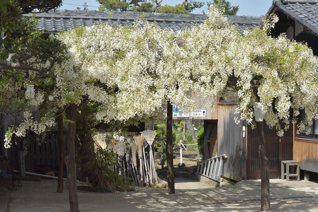 松應寺に藤棚を見に行きました♪
