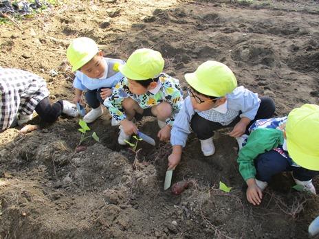 サツマイモ掘りをしたよ! ~年中児~:画像3