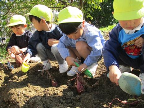 サツマイモ掘りをしたよ! ~年中児~:画像4
