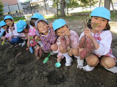 サツマイモ掘りをしたよ! ~年中児~:画像1