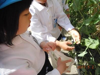 スナップエンドウを収穫しました☆:画像1