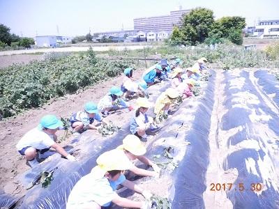 さつま芋の苗を挿しに行きました!(年長):画像3