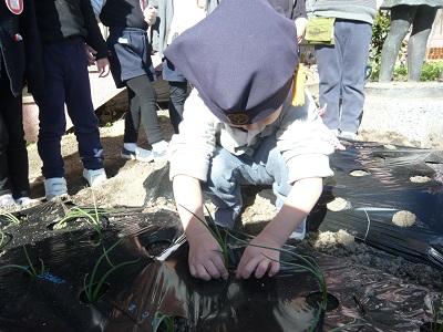 玉ねぎの苗を植えたよ☆(年中):画像3