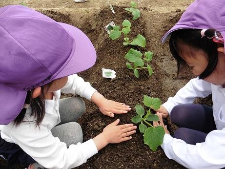 ☆年長☆ 夏野菜を植えたよ:画像2